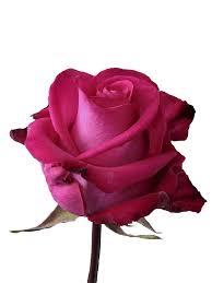 Rose 4.