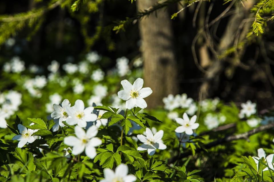 Våren 1. Hvitveis